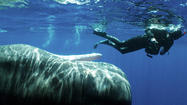 A young humpback whale swam less than six feet away from Bryant Austin while he was snorkeling off the Kingdom of Tonga in 2004.