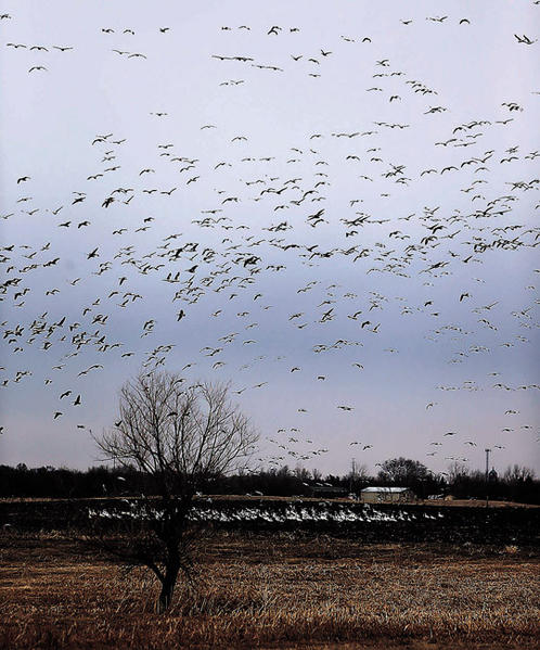 A flock of snow geese glide in to land on the ground in a farm field north of Aberdeen Wednesday. While the rest of South Dakota delt with snow and ice the only snow in the air around Aberdeen had wings and honked. photo by john davis taken 4/10/2013