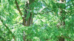 Native plant walk May 4: See trees and more on William and Mary campus
