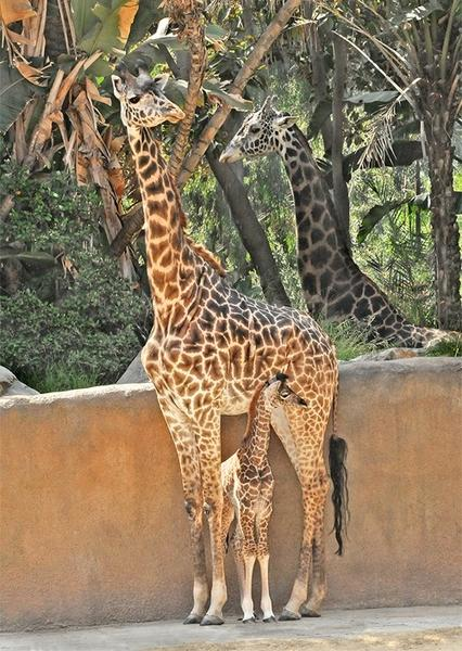 Sofie, born on April 22, stands next to her mother at the L.A. Zoo.