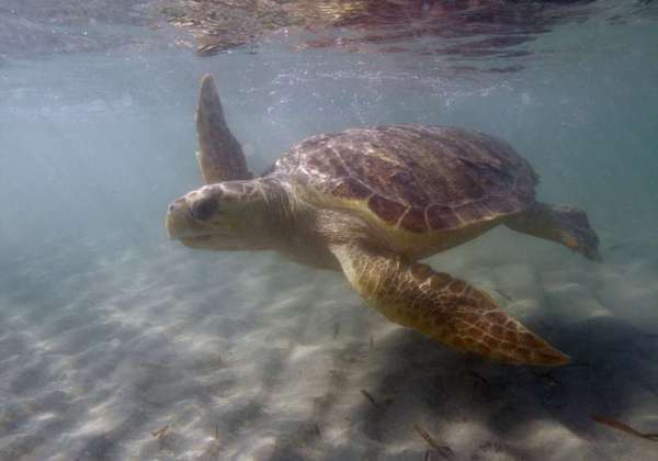 A loggerhead sea turtle off the Florida coast.