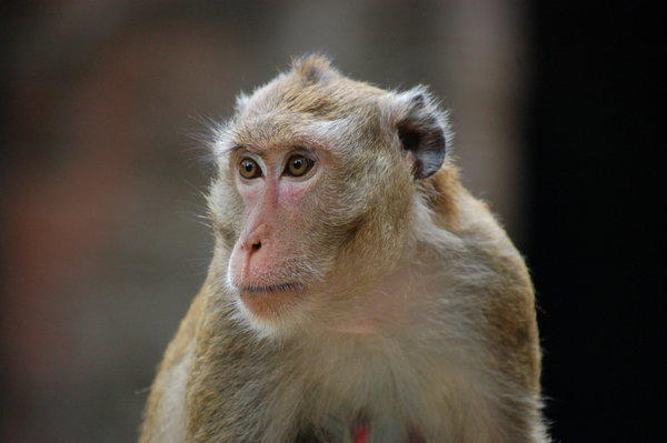 A long-tailed macaque, the same species culled by Malaysian authorities last year, is seen near the Preah Khan temple in Angkor, Cambodia.