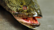 The northern snakehead is an invasive predator fish that can perform all kinds of non-fish-like feats -- like breathing only air for up to four days and even using its fins to crawl across land to get to a body of water.