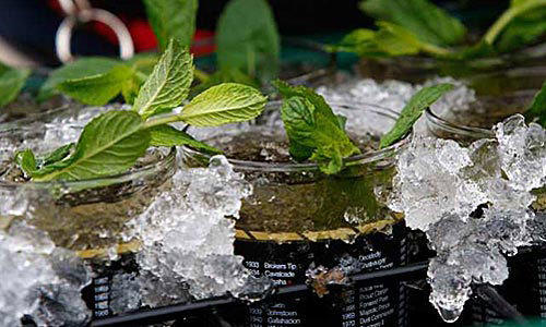 Mint juleps at the Kentucky Derby.