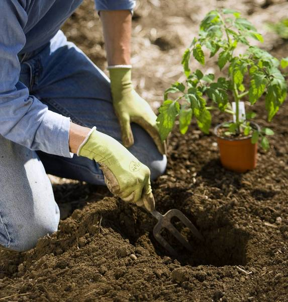 Plant warm-season vegetables such as tomatoes when the soil temperature is warm, 55-60 degrees, or mid-May.