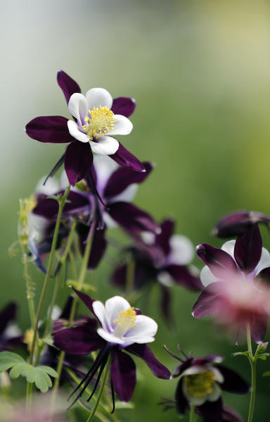 A swan violet and white columbine blooms in the greenhouse at Beadle Floral and Nursery in Aberdeen. Flowers to plant in a garden would be a good idea for an avid gardener.