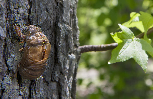 A simulation, using a dried cicada molt, of how the insect climbs a tree and molts.