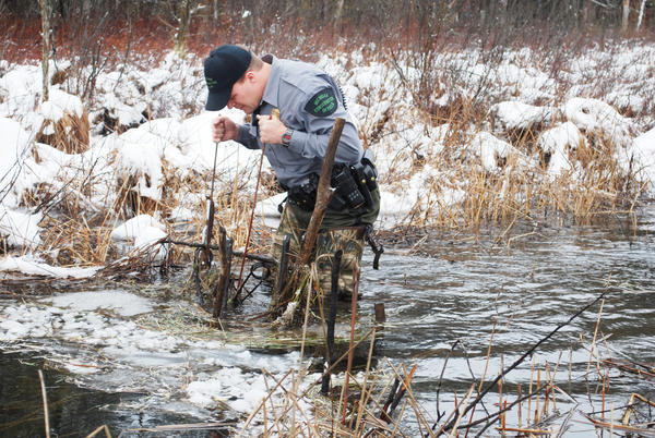 Donning hip waders, Mark DePew checks a beaver trap in a small creek for identifying the trapper. Fur harvesting is alive and well in Northern Michigan but the practice is essentially invisible to anyone but trappers. DePew is an experienced trapper.