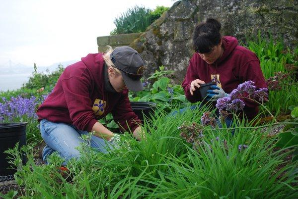 Two volunteers pulling weeds at Alcatraz Gardens