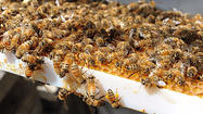 Something is killing the honey bees of Maryland.