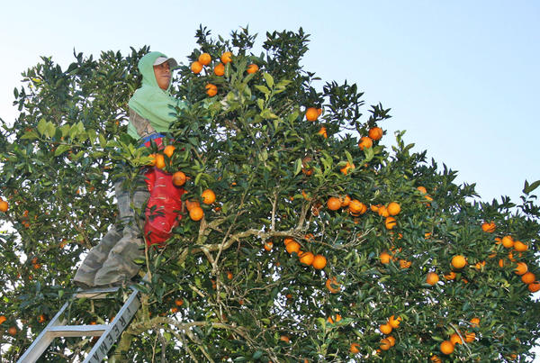 A grove worker picks oranges in a citrus grove in St. Cloud.