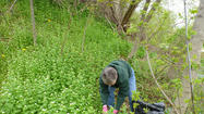The first year, the invasive species garlic mustard looks like a violet, says Jacqueline Pilette, wetlands specialist with the Little Traverse Bay Bands of Odawa Indians.