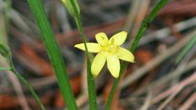 Virginia native plants: Yellow stargrass and other beauties can be seen on native plant walk May 11