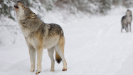 Michigan Gov. Rick Snyder signed a bill Wednesday shifting the power to designate a game species to the state Natural Resources Commission and potentially solidifying a future wolf hunt in Michigan.