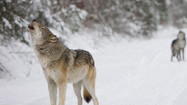 Gov. Rick Snyder signed a bill to allow the Natural Resources Commission to designate game species Wednesday, likely ending a petition effort against a wolf hunt in Michigan.