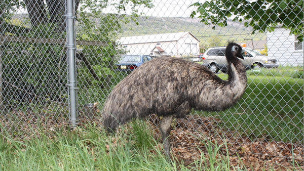Is this your emu? The large bird was spotted in a Lehigh Township home recently, and now the search is on for its owner.