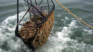 When first proposed about a decade ago, it seemed like a promising means to revive the Chesapeake Bay's devastated oyster crop: Bring in Chinese oysters, which are impervious to the diseases killing the native stock and also grow faster. If successful, the plan would resurrect an oyster industry that was nearly wiped out as the native oyster population dwindled to barely 1 percent of what it was decades ago.