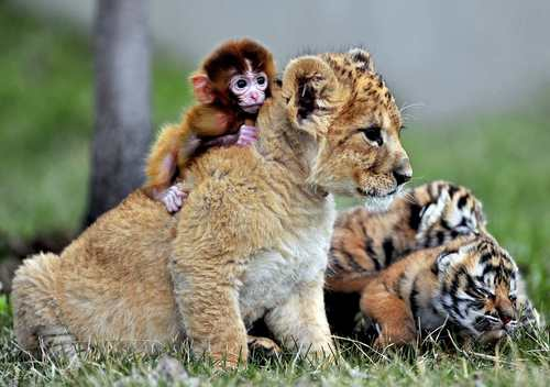 A baby monkey, a lion cub and tiger cubs play at the Guaipo Manchurian Tiger Park in Shenyang, Liaoning Province, May 1, 2013.