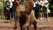 An orphaned baby elephant walks through mud as tourists take pictures at the David Sheldrick Wildlife Trust Nursery within Nairobi National Park, near Nairobi