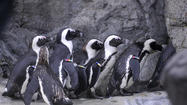 African Penguins Take First Plunge