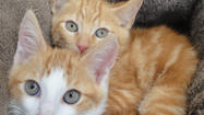 "The orange and white kitten Mushu and the orange tabby kitten Khan have just been rescued from Disneyland. We have named the pair after the characters of the Disney movie ""Mulan."""