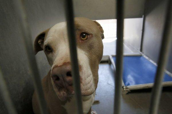 A pit bull seized by Los Angeles County law enforcement authorities to determine whether it was among those that killed a woman in Littlerock. The dogs are being held at a Los Angeles County animal shelter in Lancaster.