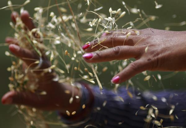 A farmer harvests wheat on a field in Kathmandu May 6, 2013.