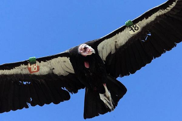 California condors were brought back from the brink of extinction a quarter-century ago and still cling precariously to survival. Federal law prohibits the harassment or killing of endangered species for any reason.