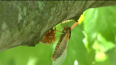 Martinsville is about to get very loud as cicadas emerge