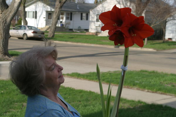 After four years of lying dormant, Mary Pietz's amaryllis finally bloomed just in time to give her a Mother's Day surprise. American News Photos by Scott Feldman