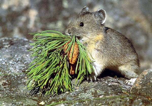 The American pika, a small mountain¿dwelling mammal in the West, is one of many animals that can't tolerate the heat brought on by climate change, scientists say.