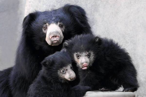 Sloth bear cubs born at Brookfield Zoo on Jan. 20 can now be seen on exhibit with their mom, Hani