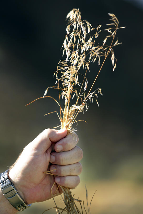 Invasive cheatgrass has taken over vast acreages in the Great Basin, destroying the native sagebrush ecosystem and fueling wildfires.