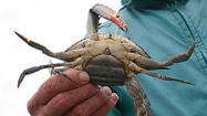 Maryland moved Monday to reduce the commercial harvest of female blue crabs in the aftermath of a survey finding that the Chesapeake Bay's crab population hit a five-year low last winter.