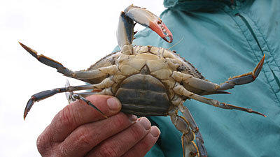 Maryland to limit female crab catch