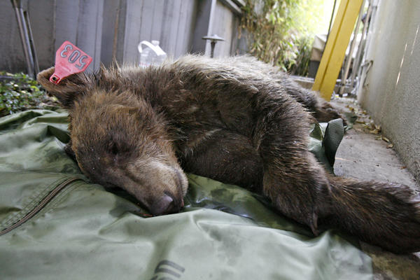 A 1-year-old female bear was tranquilized Monday afternoon after a stroll through several backyards.