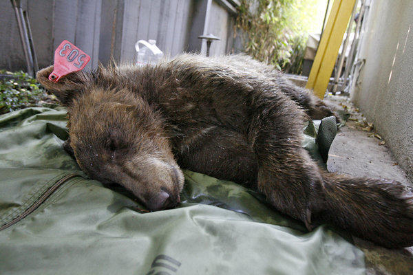 A traquilized 1-year-old female bear rests after it took a dip in a swimming pool in La Canada Flintridge. (Tim Berger / Glendale News Press)