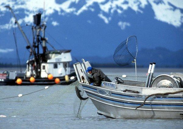 A fisherman hauls in a Copper River salmon.