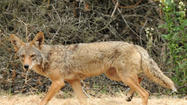 State wildlife officials, concerned about a coyote that killed a pet Chihuahua last month, put up warning signs Tuesday in WillowWood, the southwest Orange County neighborhood where the little dog was attacked.