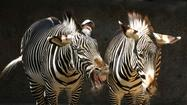 J. Michael Elliott photographed these zebras at the Los Angeles Zoo on April 14.