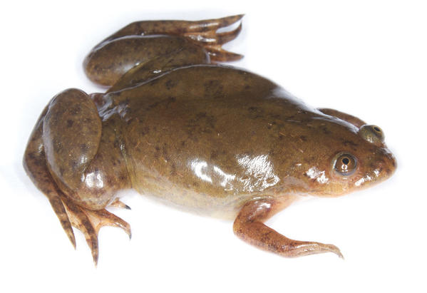 The African clawed frog, Xenopus laevis, was let loose in California after it no longer was used for pregnancy testing