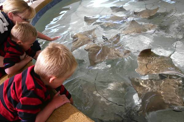 Laura Zdancewicz with her sons, Billy, 4, left and Kyle, 5, pet the Cownose rays at the Shedd Aquarium.