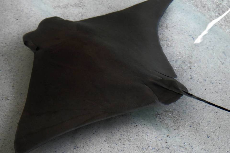 A Cownose Ray swims in the pool at the Shedd Aquarium.