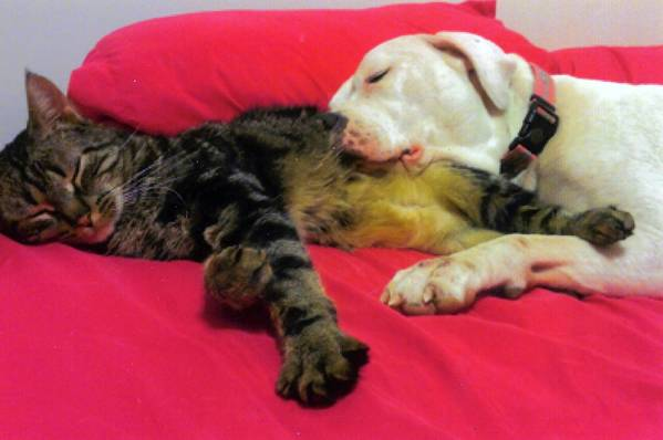 The Lehigh Valley Pitbull Awareness Club wants to spread the message that pit bulls, such as this one sleeping with a cat, can be friendly.