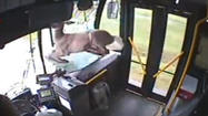 Deer goes for a bus ride