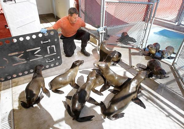 "Wildlife conservationist and ""Ocean Mysteries"" host and producer Jeff Corwin gathers a group of sea lions together to move them to a feeding station where he helped attend to the many sick sea lions and shot an episode for his series at the Pacific Marine Mammal Center."