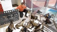 Jeff Corwin has done television segments on sea lions before, but not like the one he just wrapped up earlier this week at Laguna Beach's Pacific Marine Mammal Center.
