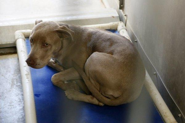 One of the pit bulls seized by authorities in connection with the deadly mauling of a woman in the Antelope Valley and held at a county shelter in Lancaster.