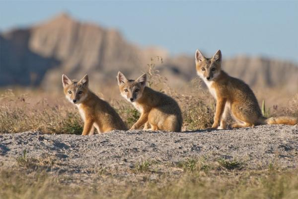 "A trio of swift foxes is seen in the Discovery Channel blockbuster nature documentary ""North America."""