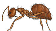 "An invasion of alien ""crazy ants"" is making many residents of the U.S. Gulf Coast long for the old days of pesky, biting fire ants."